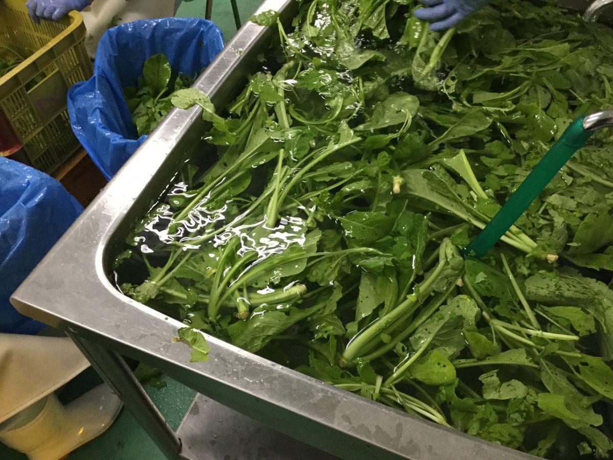 小松菜の洗浄・前処理